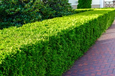 sheared decorative bush