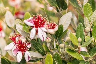 feijoa flowers and buds on feijoa tree