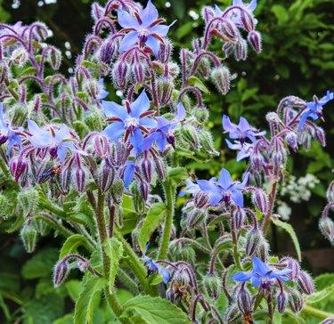 Borage plant / herb (Borago officinalis) in sunlight, blue flowers.