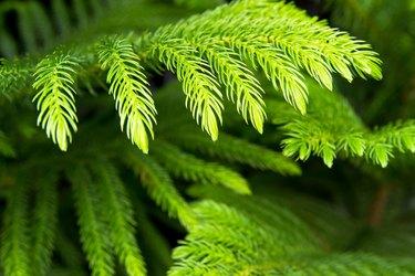 araucaria heterophylla green background