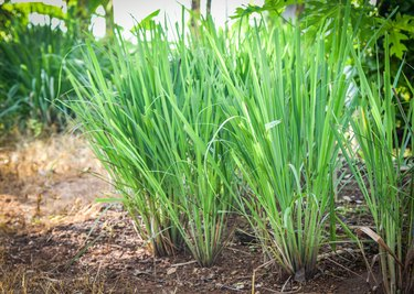 Lemon grass plant tree growing on the garden plantation for food and herb leaf