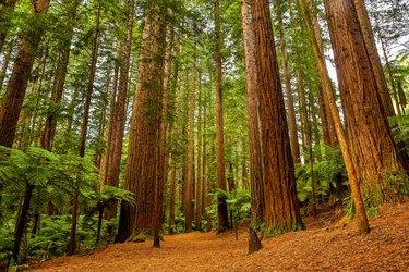 Rotorua Redwoods Forest Walk