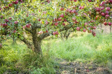 Apple tree in old apple orchard horizontal.