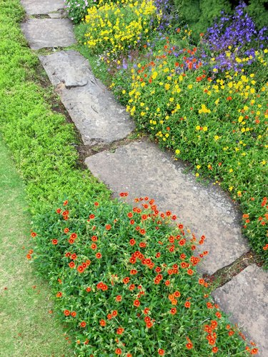 Image of traditional English cottage garden with real random grey natural stepping stones / Yorkstone limestone flagstones pathway path edged by lawn grass, flowers, flowering Alpine plants, phlox, hairbell campanula, saxifraga, with yellow orange flowers