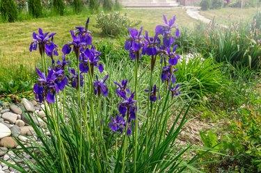 Beautiful blue Iris flower in the garden at sunset. Close up