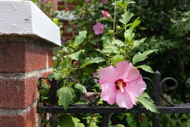 Beautiful Pink Hibiscus Flower in a Home Garden with a Fence during Summer in Astoria Queens New York