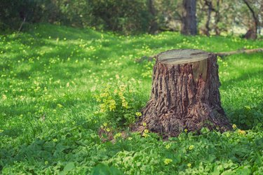 Tree Trunk Stump, in a Grassy Field With Yellow Wildflowers, in a Forest, in Golden Gate Park, San Francisco