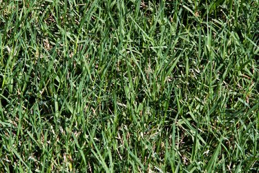 Thick Bermuda Grass Growing in a Lawn