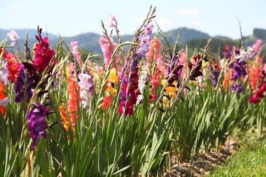 bloming gladiolus field