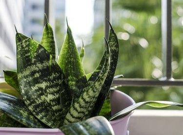 Sansevieria trifasciata or Snake plant in pot at terrace condominium