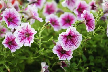 Petunia flowers that are colorful in the summer