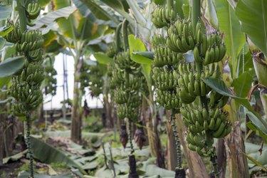 Green bananas  growing in greenhouse.
