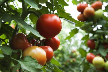 How to Use Sevin Dust on Tomato Plants