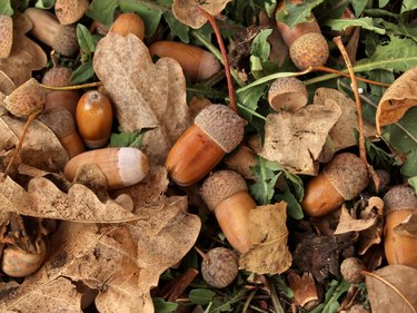 Oak acorns and leaves on the ground