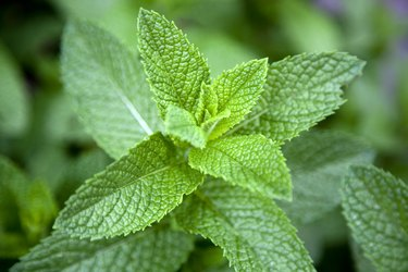 Leaves on a mint plant (Lamiaceae), close-up