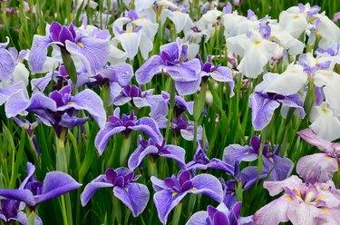 Japanese iris, hana shoubu, Iris ensata