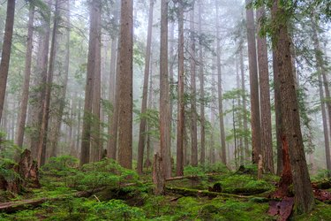 Mist covered in Western Red Cedar & Douglas Fir trees