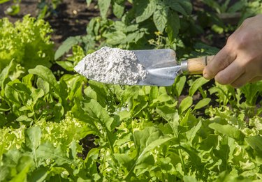 Gardener sprinkle Diatomaceous earth( Kieselgur) powder for non-toxic organic insect repellent on salad in vegetable garden, dehydrating insects.