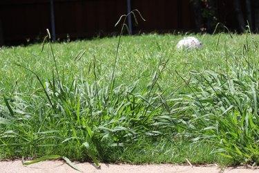 Overgrown crabgrass weeds in the backyard