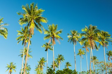 Beautiful coconut palm tree on blue sky