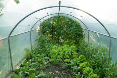 lettuces and vegetables grow in a greenhouse