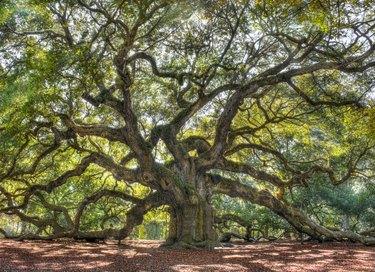 Angle Oak Tree of South Carolina