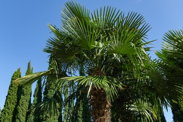 Chinese windmill palm (Trachycarpus fortunei) or Chusan palm with rows Mediterranean Cypress (Cupressus sempervirens) around in landscape park in Partenit, Crimea.