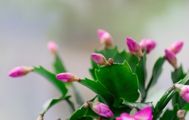 Pink Schlumbergera, Christmas cactus or Thanksgiving cactus on white background. Close up. Copy space.