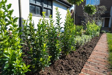 New plants including bay trees planted in a flower bed edged by bricks in front of a white wall of an outhouse or garage. In a residential garden or back yard.