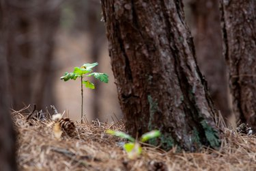 Small oak plant in a forest. between the pine needles and pine cones