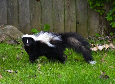 Cute Skunk in a Backyard