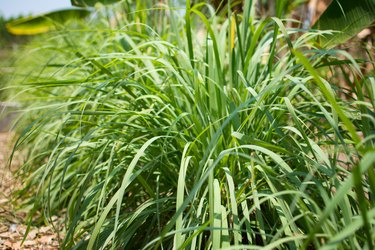 Lemongrass or Lapine or Lemon grass or West Indian or Cymbopogon citratus were planted on the ground