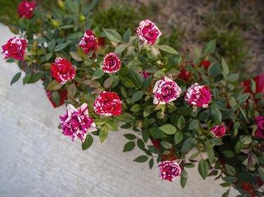 Miniature Rose Flowers