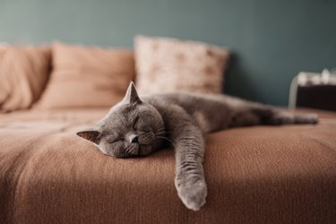 Lazy British Short Hair cat sleeping on a couch in a flat in Edinburgh, Scotland, with her face squashed as she is fully relaxed