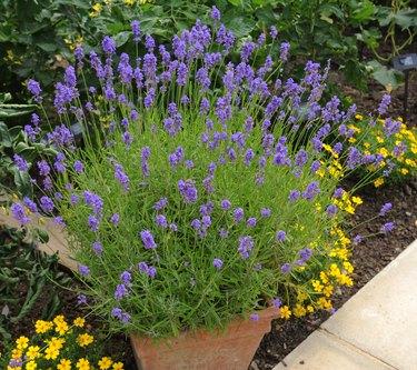 Terracotta Flowerpot of The Lavander Plant (Lavandula)