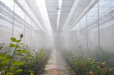 Plantation roses in a greenhouse,Roses blooming in a greenhouse in a rose farm