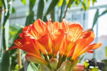 Beautiful kaffir lily flowers.