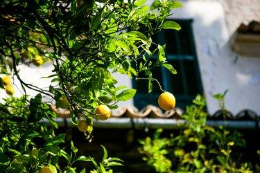 Close-Up Of Fresh Lemons On Tree Against House