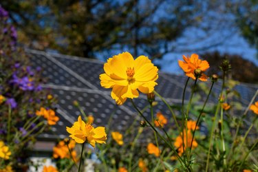 Sustainability in action with cosmos flowers and solar panels coexisting in a pollinator garden on a sunny fall day.
