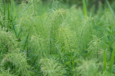 Leaves of a meadow shady horsetail (Equisetum pratense) as Nature background. Medicinal plant.