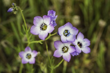 Gilia tricolor (Bird's-eye Gilia) is an annual plant native to the Central Valley and foothills of the Sierra Nevada and Coast Ranges in California. Pepperwood Preserve; Santa Rosa;  Sonoma County, California