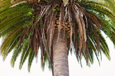 Photo of a Large California Palm Tree Close Up