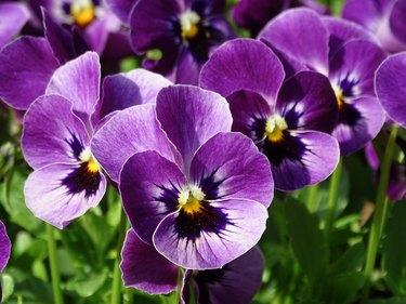 Purple Pansy (macro)