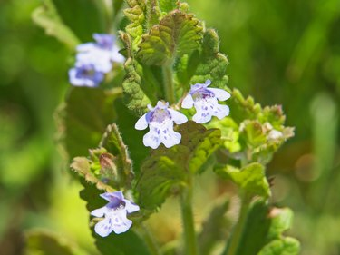 Blue flowers of Ground Ivy, Glechoma hederacea