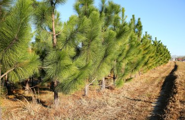 Young pine trees growing in a straight line