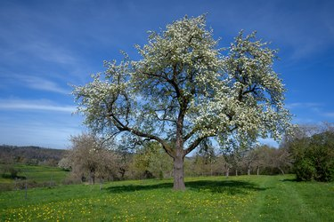 Big blooming pear tree in a meadow with dandelion