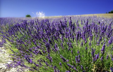 Close up of lavender flowers growing in a row