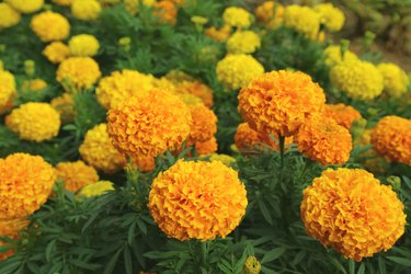 Vibrant Orange and Yellow Blooming Marigold Flowers Field
