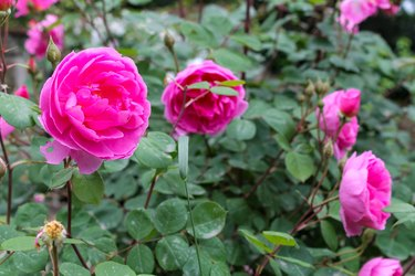 Beautiful pink roses bush in the garden surrounded by many green leaves
