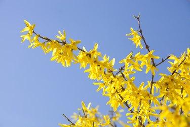 Forsythia bushes flowering in spring.